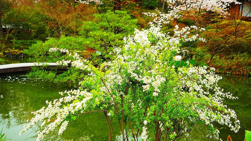 京都 ユキヤナギと桜と庭園_a0287533_23021176.jpg