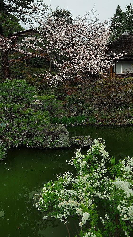京都 ユキヤナギと桜と庭園_a0287533_23021261.jpg