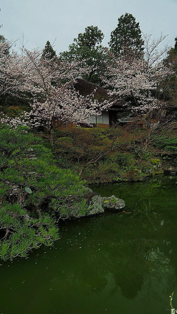 京都 ユキヤナギと桜と庭園_a0287533_23021274.jpg