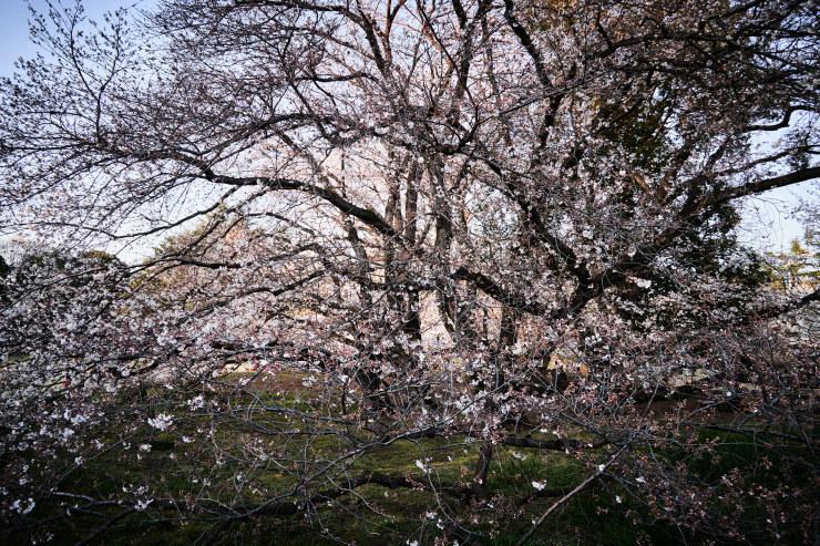 桜(4cut)_e0342136_19140236.jpg
