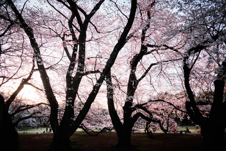 桜(4cut)_e0342136_19145521.jpg