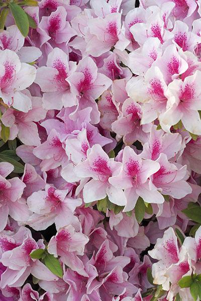 そしてツツジは咲き誇る_e0022047_22091965.jpg