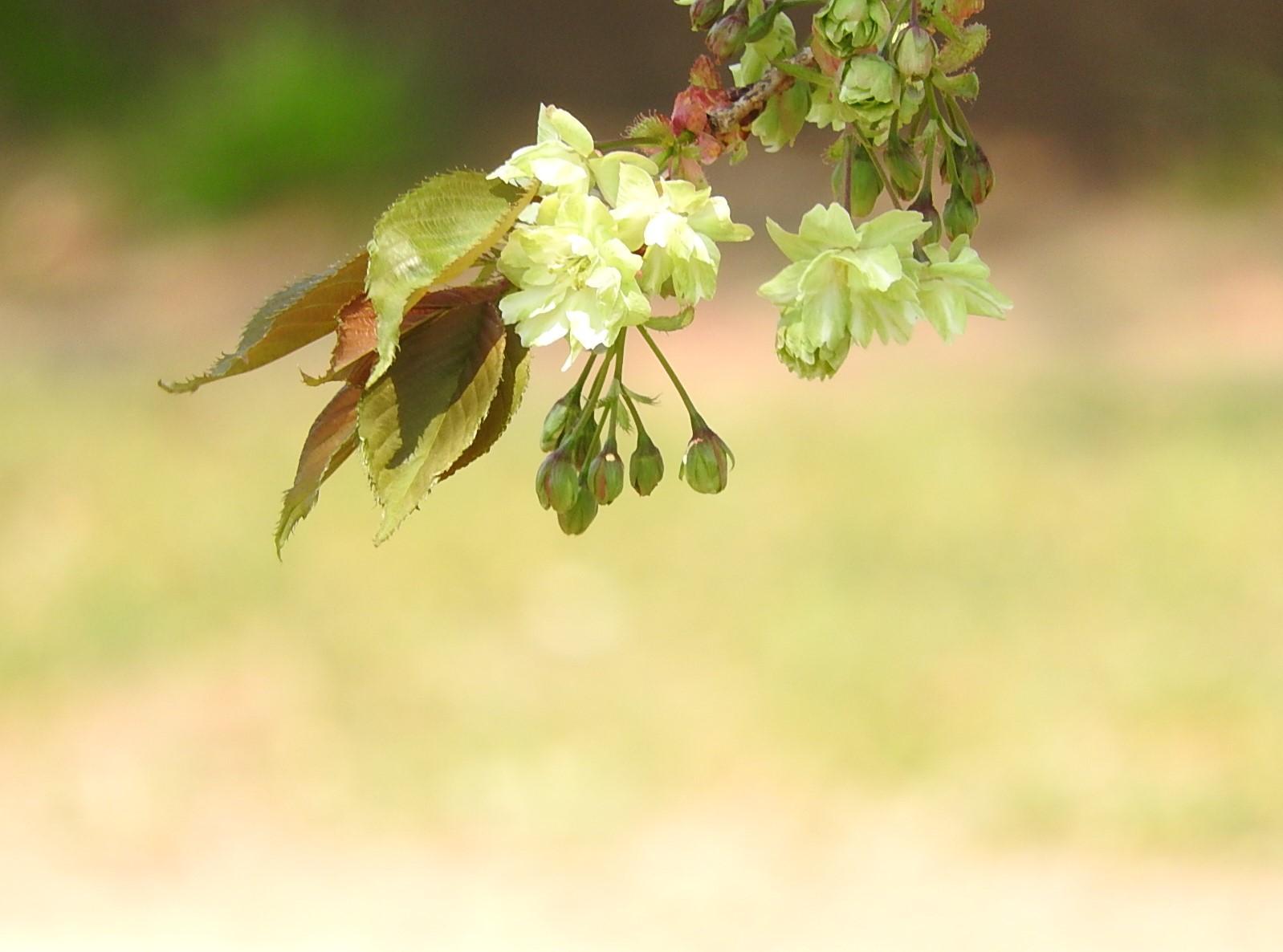 五月の桜_e0406450_15352510.jpg