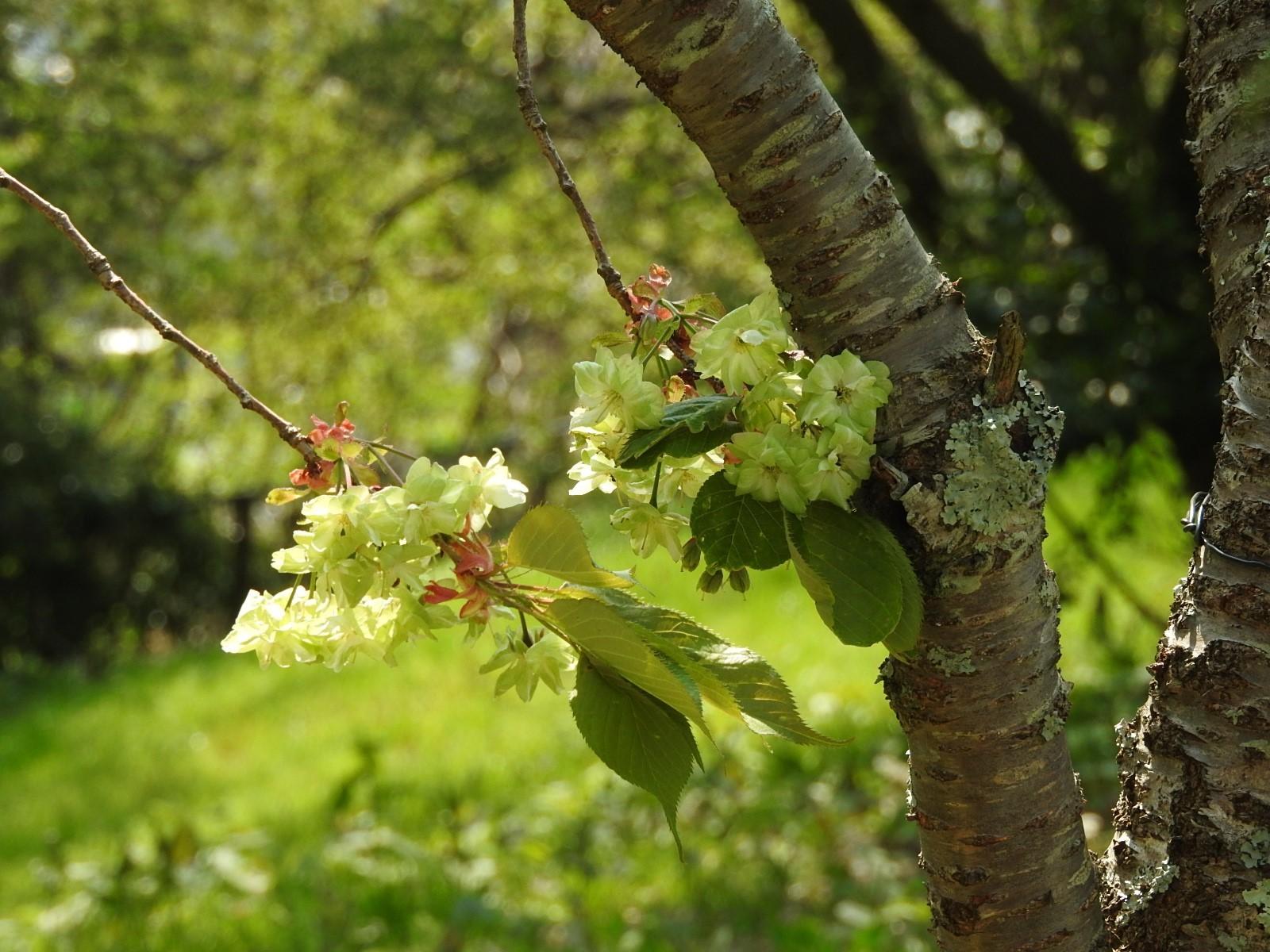 五月の桜_e0406450_15362744.jpg
