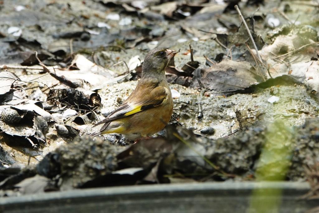野鳥トレ 205 再度公園~森林植物園_b0227552_19075000.jpg