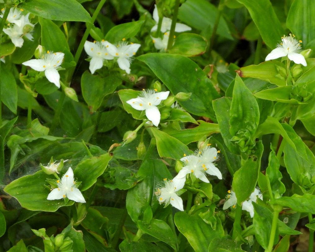 木の花と帰化植物_c0305565_17432366.jpg