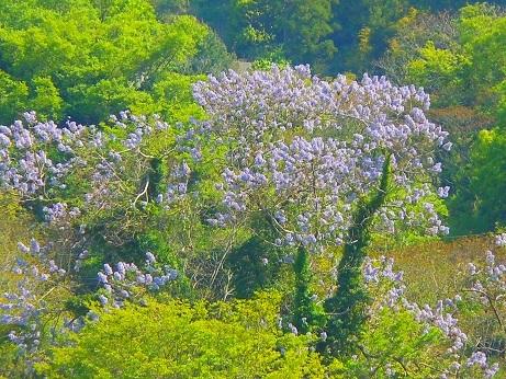 新緑の行者山、麓を彩る桐の花_e0175370_21094602.jpg