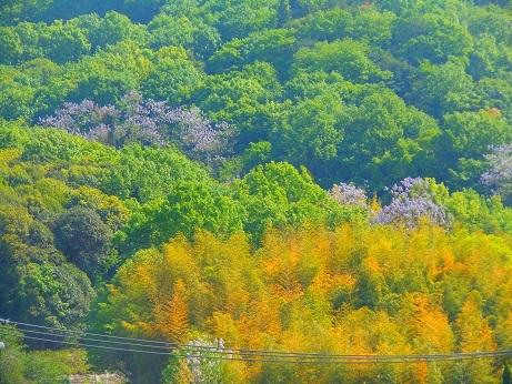 新緑の行者山、麓を彩る桐の花_e0175370_21095811.jpg