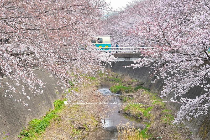 私の桜 ♡ 小さくて大きいね_c0319774_23220492.jpg