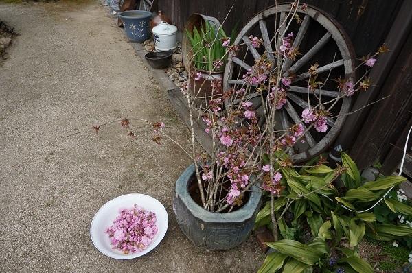 桜の花の塩漬け_e0365880_19105555.jpg