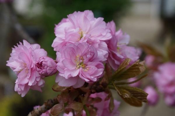 桜の花の塩漬け_e0365880_19122663.jpg