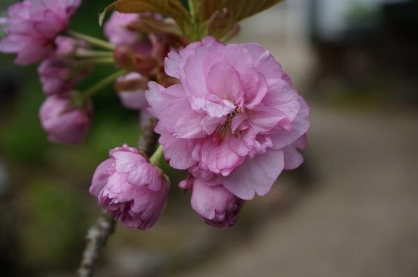 桜の花の塩漬け_e0365880_19123414.jpg