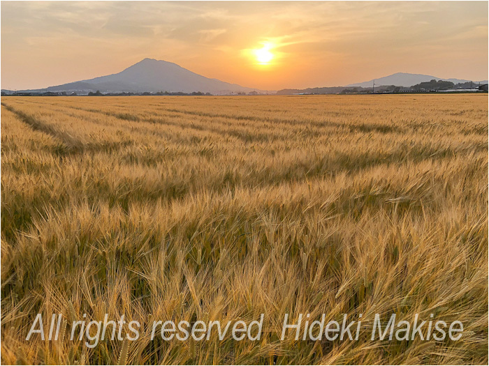 今年も麦は成長_c0122685_23255943.jpg