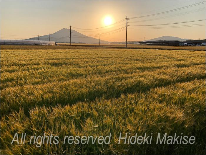今年も麦は成長_c0122685_23255954.jpg