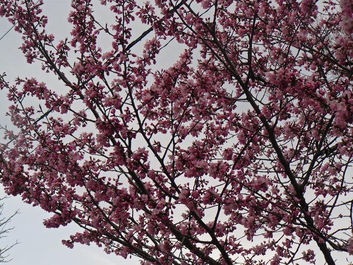 山桜_d0162994_08493213.jpg