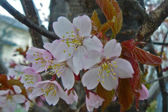 山桜_d0162994_08500055.jpg