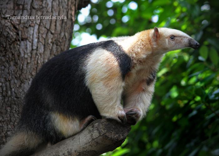 ミナミコアリクイ:Southern tamandua_b0249597_06011671.jpg