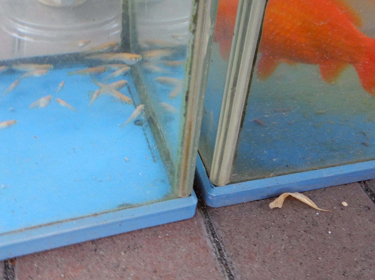 メダカは外へ、スズメは巣作り_c0025115_22410116.jpg