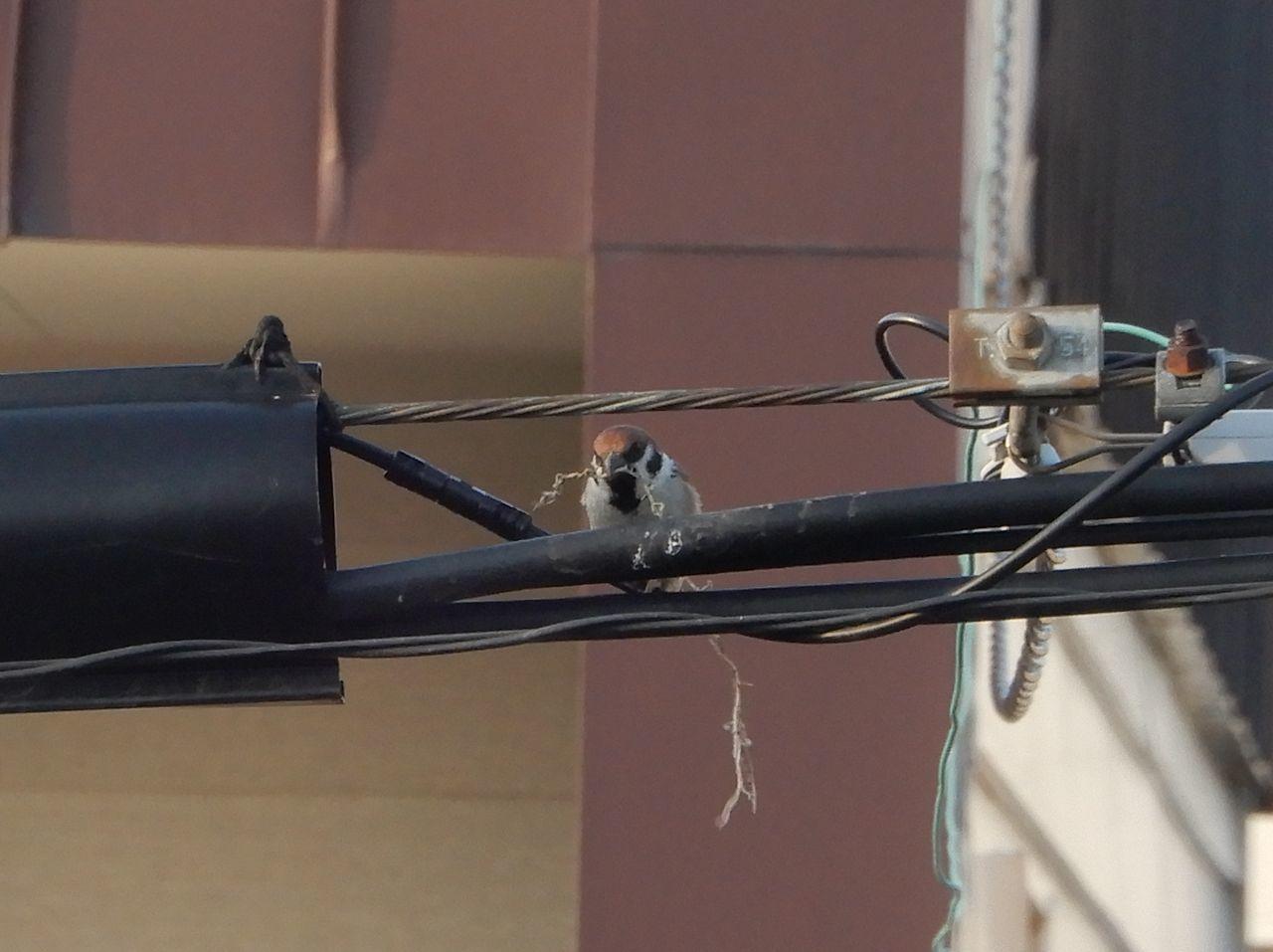 メダカは外へ、スズメは巣作り_c0025115_22432657.jpg