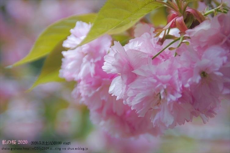 私の桜 2020_d0363917_00204590.jpg