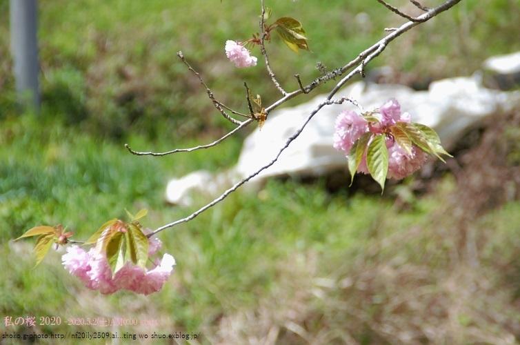 私の桜 2020_d0363917_00205801.jpg