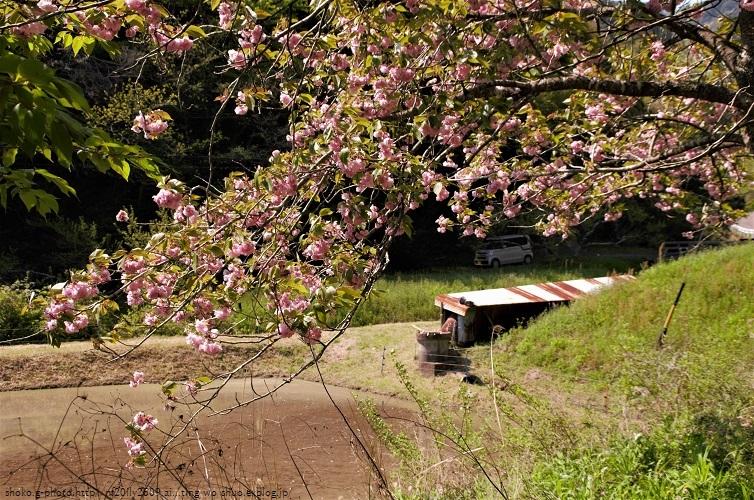 私の桜 2020_d0363917_00240508.jpg
