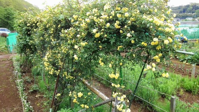 ■園芸【Myファームの花達 今モッコウバラが満開です。その他アイリスやジャーマンアイリスなど。】_b0033423_14524328.jpg
