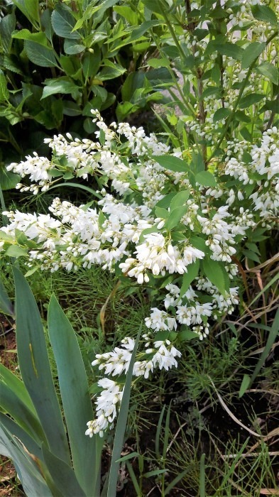 ■園芸【Myファームの花達 今モッコウバラが満開です。その他アイリスやジャーマンアイリスなど。】_b0033423_14551271.jpg