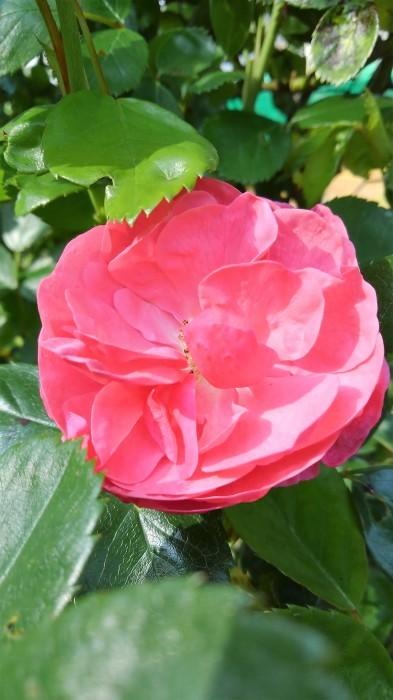 ■園芸【Myファームの花達 今モッコウバラが満開です。その他アイリスやジャーマンアイリスなど。】_b0033423_14584243.jpg