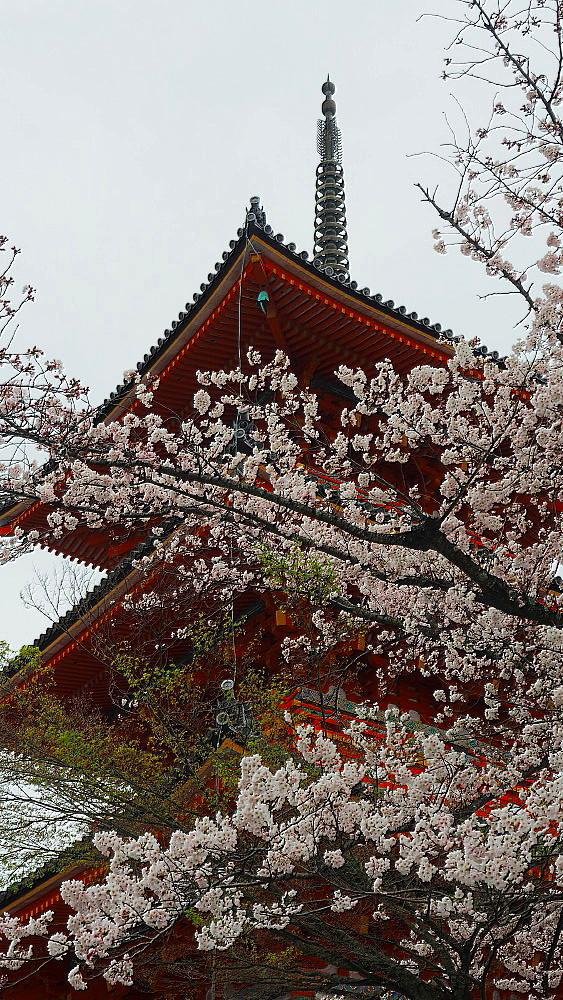 清水寺 桜_a0287533_21413569.jpg