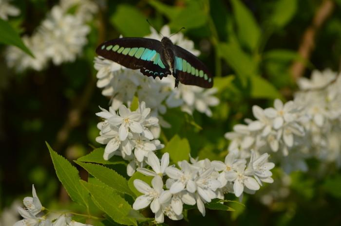 アオスジアゲハ 庭のウツギにて_d0254540_18414747.jpg
