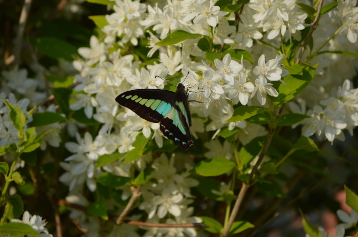 アオスジアゲハ 庭のウツギにて_d0254540_18432626.jpg