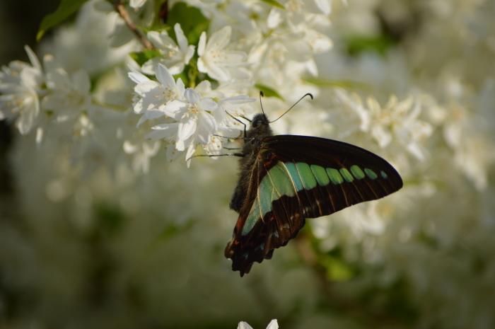 アオスジアゲハ 庭のウツギにて_d0254540_18460571.jpg