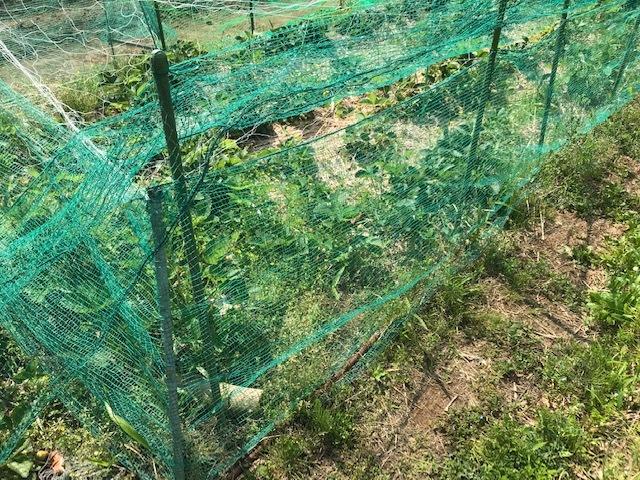 ジャガイモ開花、ソラマメにネット5・2_c0014967_17343889.jpg