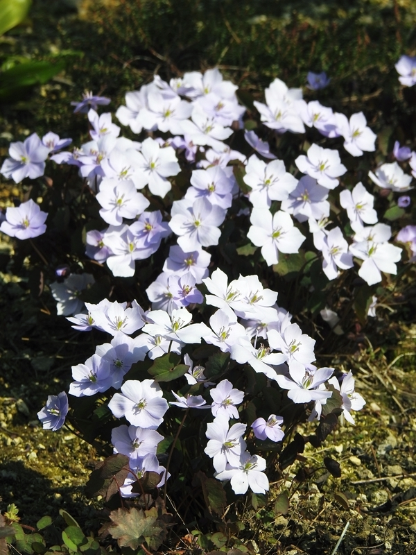 庭の草花(4回目)_d0391670_22185873.jpg