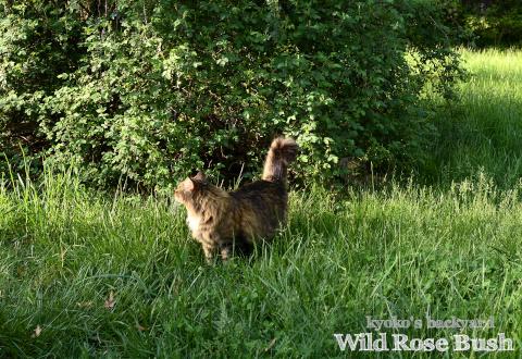 ワイルドローズの茂みが怪しい、その1 / ミソサザイの雛が孵りました_b0253205_02150714.jpg
