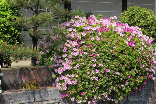 西本願寺 ツツジ終盤_e0048413_20034927.jpg