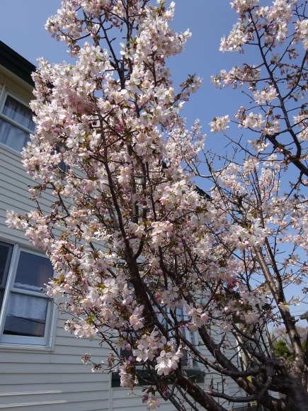 桜咲く_f0023713_12455630.jpg
