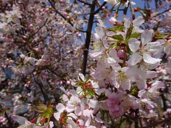 桜咲く_f0023713_12462430.jpg