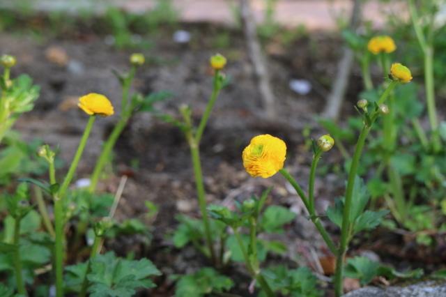 まだまだチューリップと5月の庭~♪_e0397815_00545983.jpg