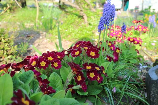 まだまだチューリップと5月の庭~♪_e0397815_00550699.jpg