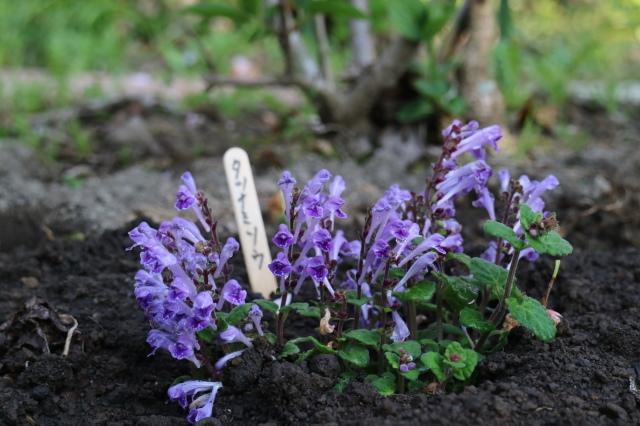 まだまだチューリップと5月の庭~♪_e0397815_00554274.jpg