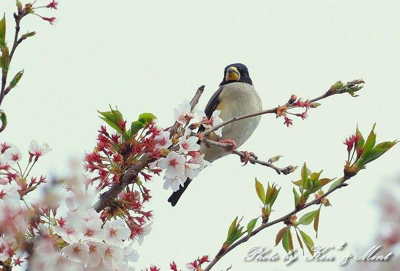 桜 コイカルさん♪ & コゲラさん♪ byミント編_e0218518_20043381.jpg