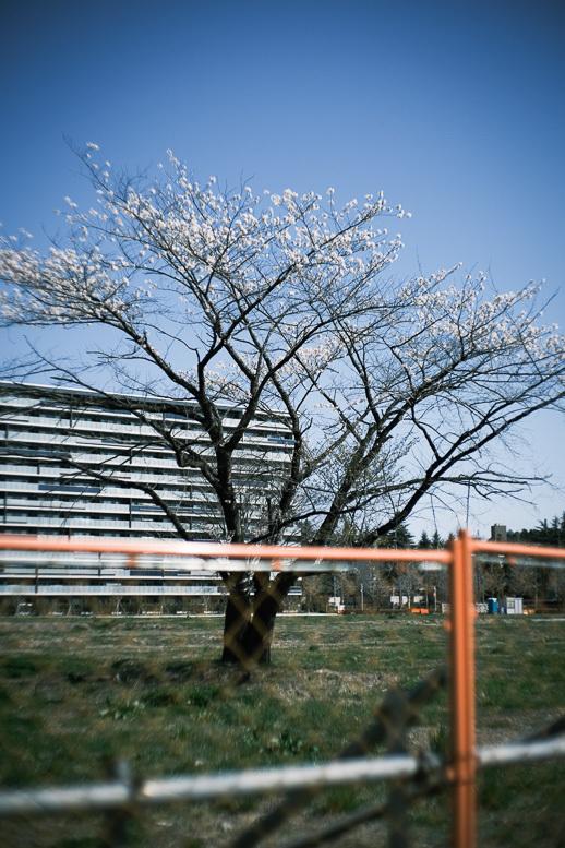 変貌するフェンスの中の桜_f0265234_10375141.jpg