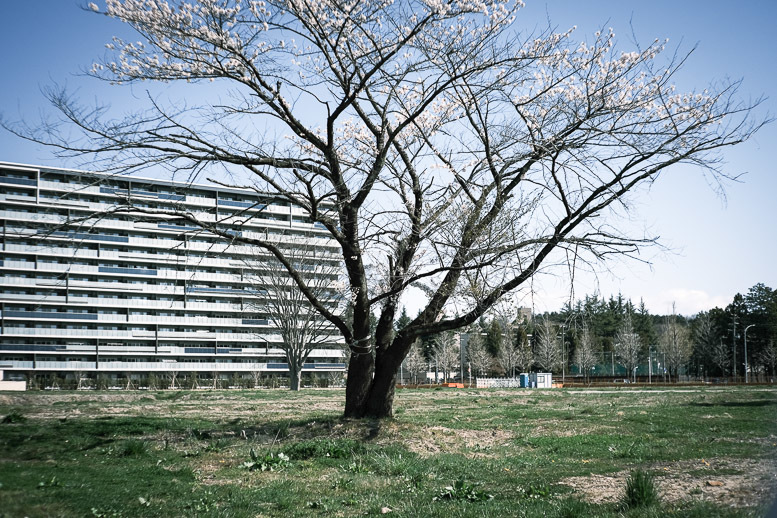 変貌するフェンスの中の桜_f0265234_10381150.jpg