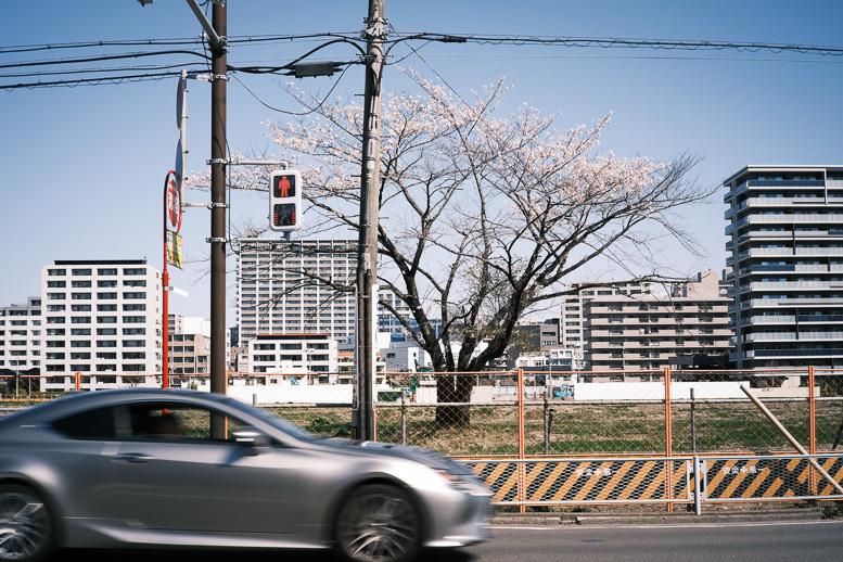 変貌するフェンスの中の桜_f0265234_10382749.jpg