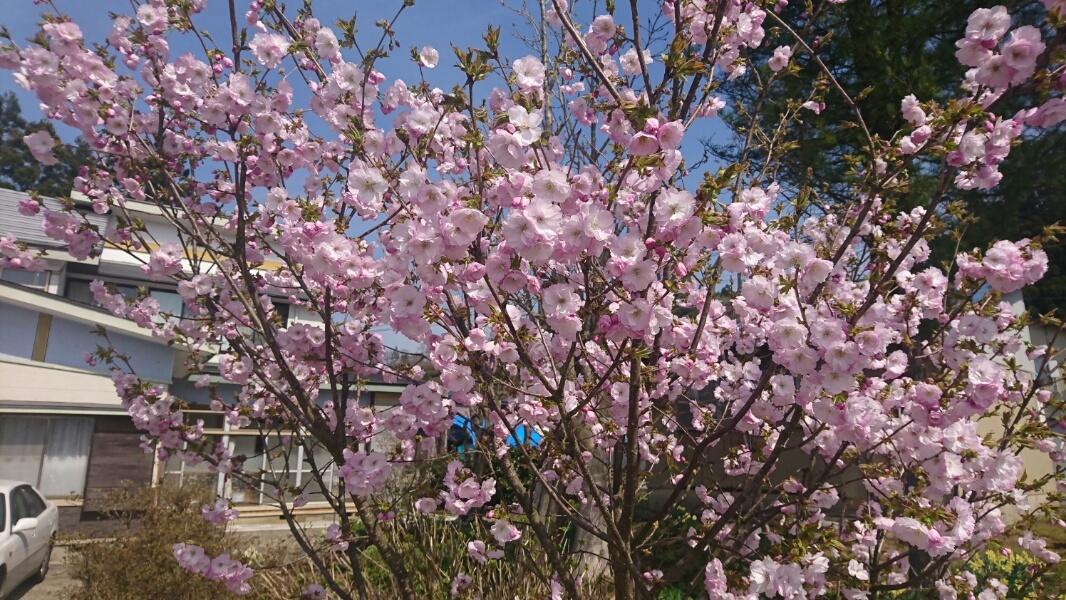 桜が満開_f0081443_20333169.jpg