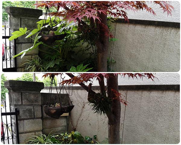 庭木のヤツデをを剪定しました_e0022047_23194244.jpg
