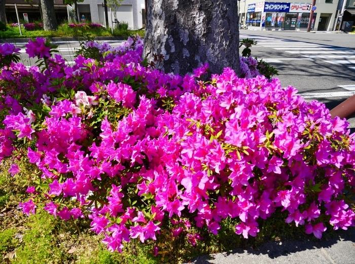 美しい新緑とつつじのけやき大通り  2020-05-06 00:00   _b0093754_22251182.jpg