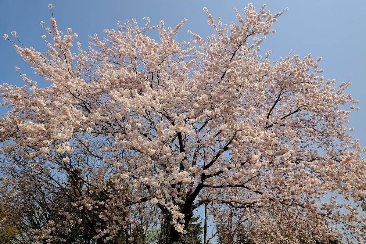 桜五月散歩道_e0051186_10415282.jpg